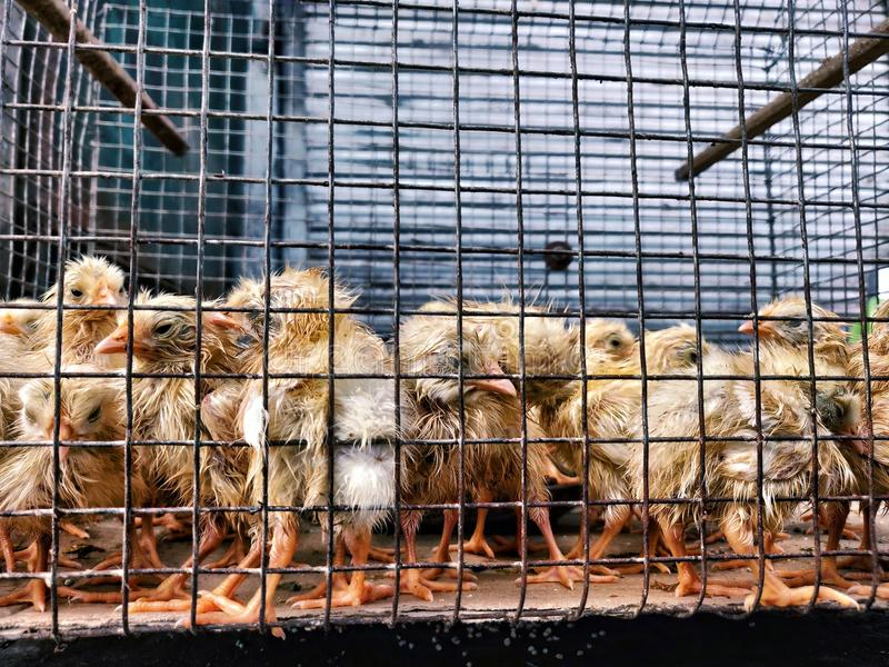 Chickens waiting for the fate. royalty free stock photo