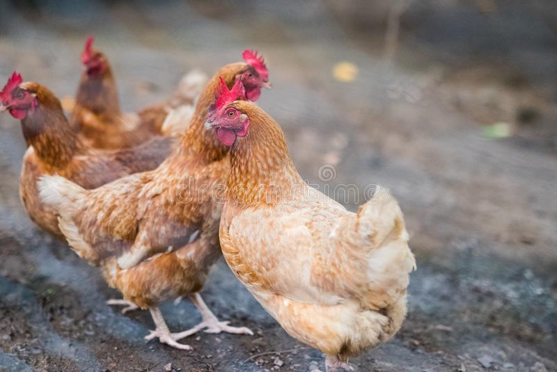 Chickens in their free range run behind chicken mesh. stock images