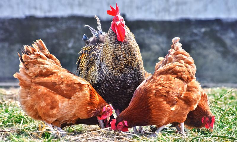 Chickens on traditional free range poultry farm.  stock images