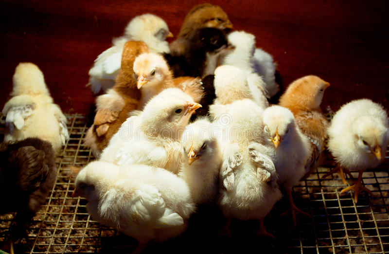 Download Chickens under a lamp stock photo. Image of yellow, color - 15823412