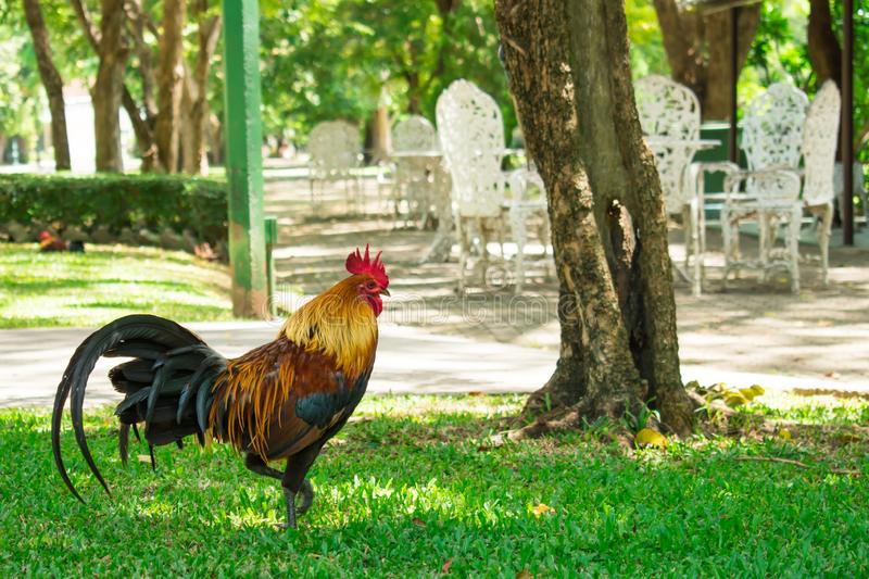 Chickens walking in the park.Natural background. stock photos