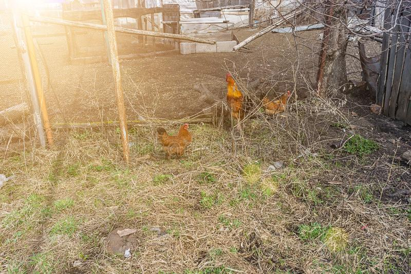 Chickens walking in the yard. Chickens walk in the yard with a rooster. motley hens peck pasture. Domestic bird royalty free stock photo