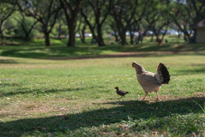 Chickens Was Taken In Oahu Island, America. Oahu Is Known