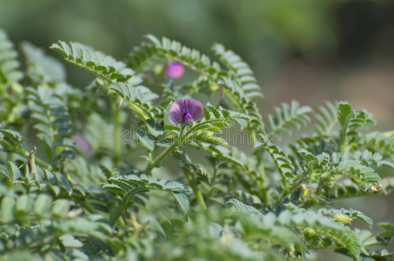 Chickpea Gram Crop and Flower. Chickpea or Gram Plant with Flower in Cultivation Field of India. These flowers can be seen in the month of December to February/ stock images