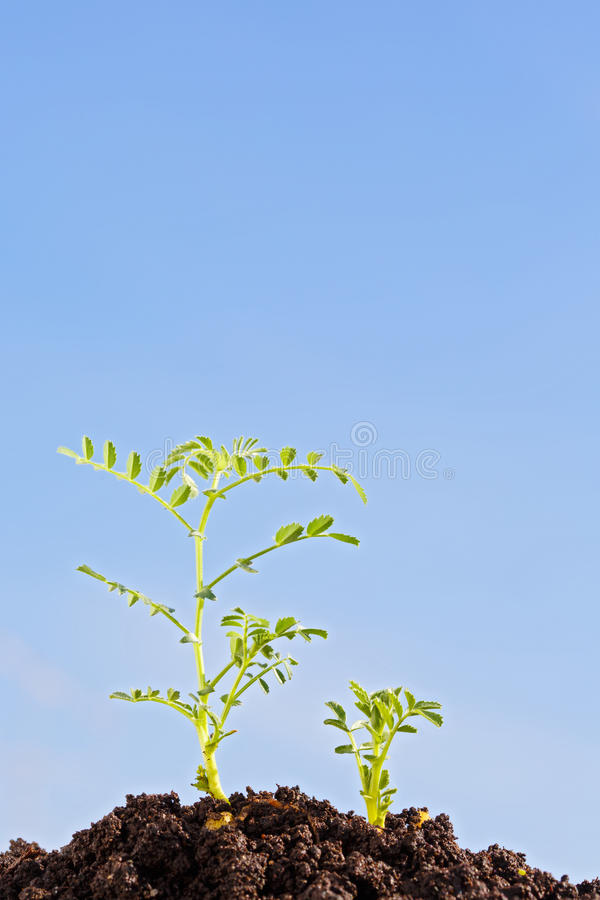 chickpea sprouts isolated on blue royalty free stock images