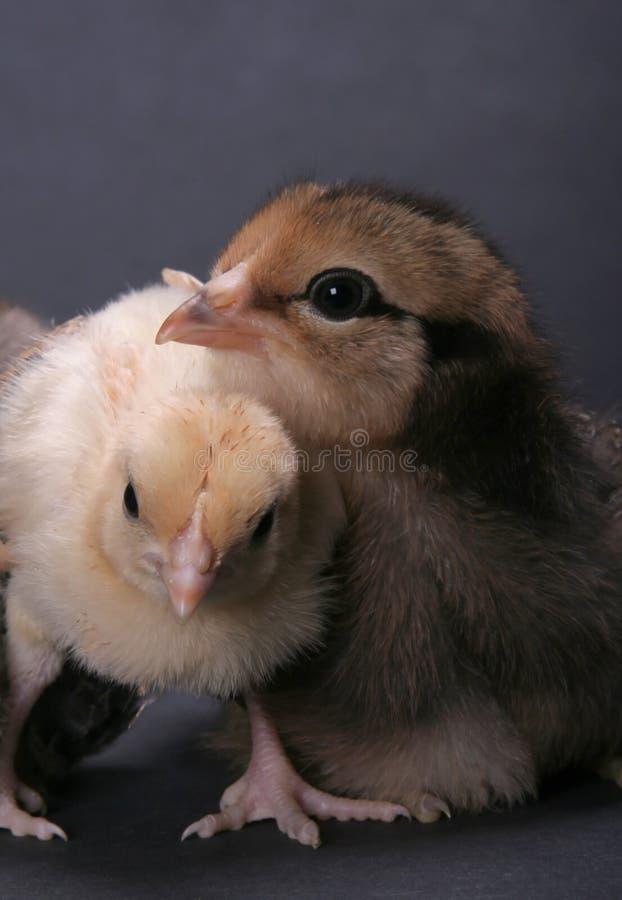 Free Chicks Royalty Free Stock Photo - 1370925