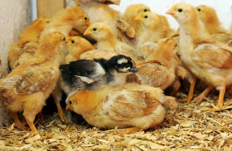 Chicks stock photography