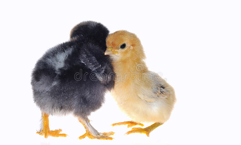 Download Chicks. Royalty Free Stock Photography - Image: 18693177