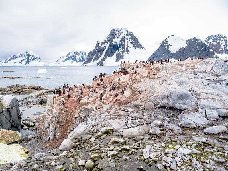 Chicks and adult Adelie penguins, and Antarctic shags on Petermann Island, Antarctic Peninsula, Antarctica. Chicks and adult Adelie penguins, Pygoscelis adeliae royalty free stock photos