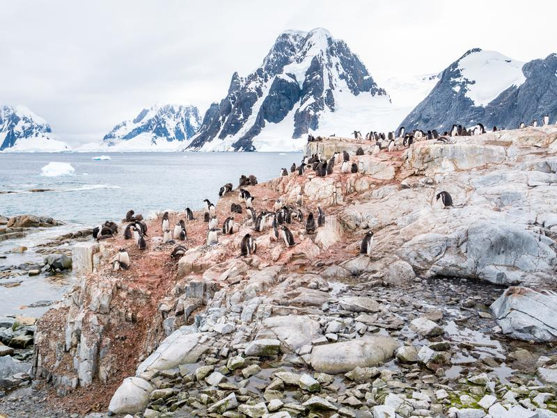 Chicks and adult Adelie penguins on Petermann Island and mount S. Chicks and adult Adelie penguins, Pygoscelis adeliae, on Petermann Island and Mount Scott on stock photography