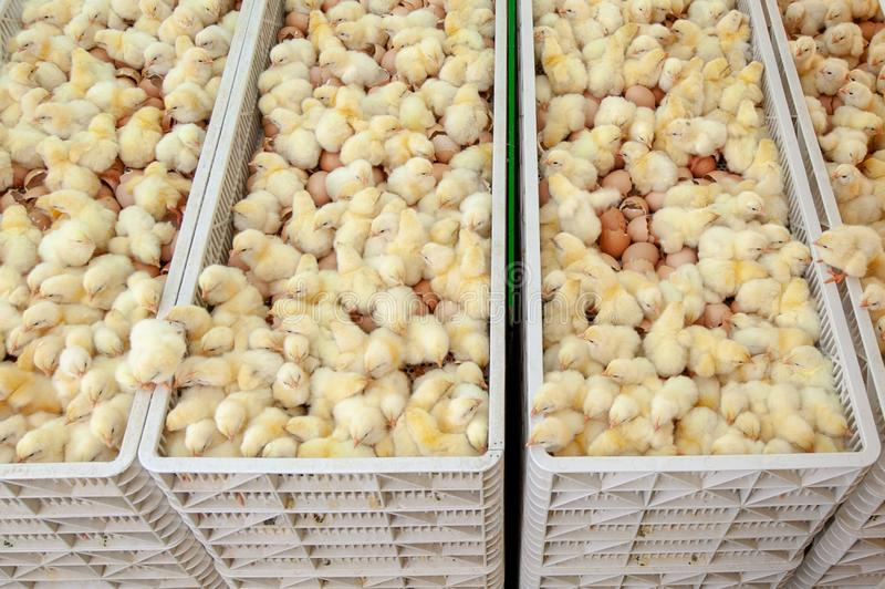 Baby chicks just coming out from Eggs. stock image