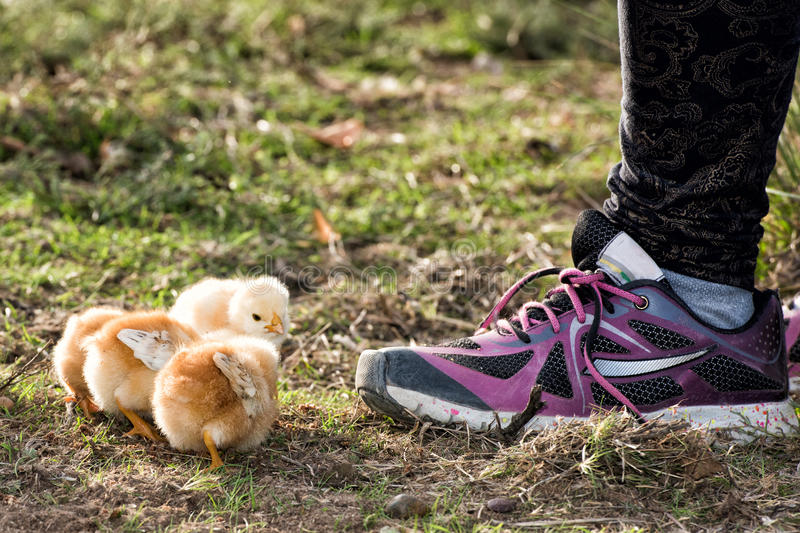 Chicks in a farm with girl shoe. Chicken brooding hen and chicks in a farm stock photo