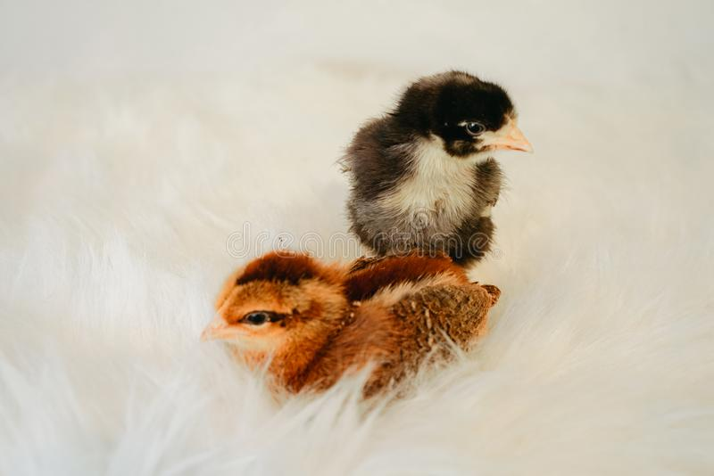 Chicks in Fur stock photos