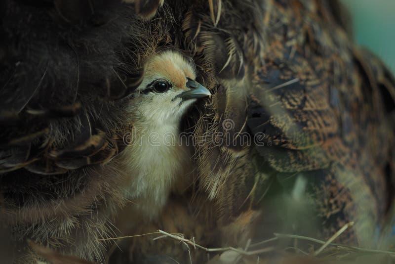 Chicks in the hen`s wings. Chicks in the hen`s wings close up royalty free stock photos