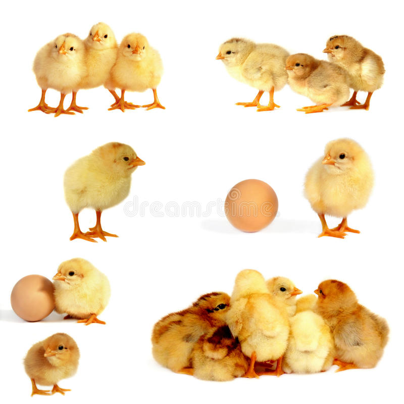 Chicks isolated on white, stock photo