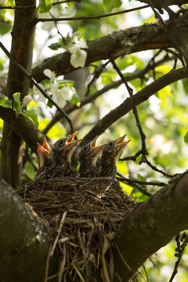 Chicks in a nest stock photography