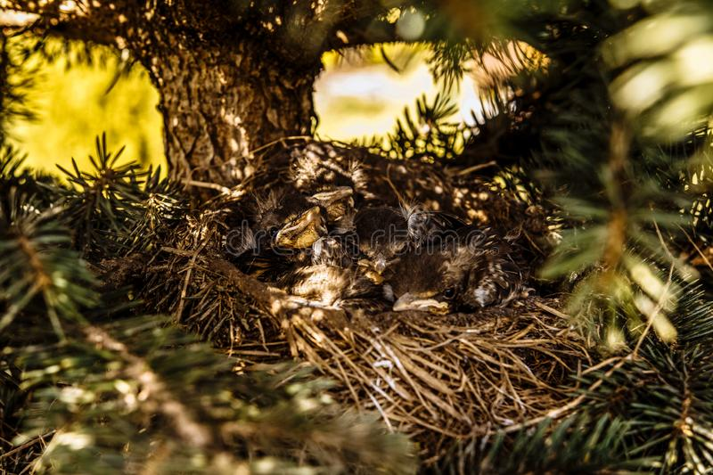 Chicks in the nest waiting for their food stock images
