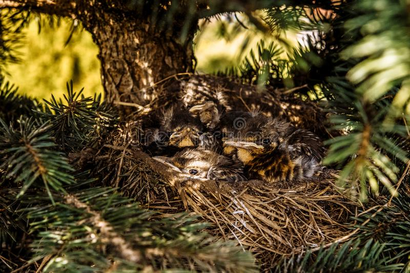 Chicks in the nest waiting for their food stock photos