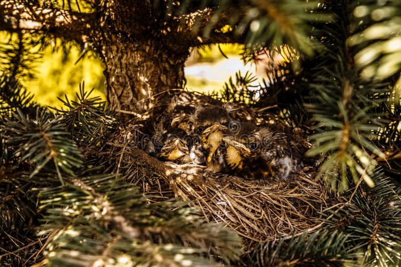 Chicks in the nest waiting for their food royalty free stock photos