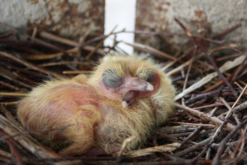Chicks of the pigeon. Two pieces. In a nest stock photography