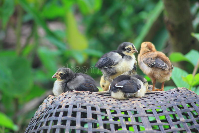 Chicks sitting asleep royalty free stock images
