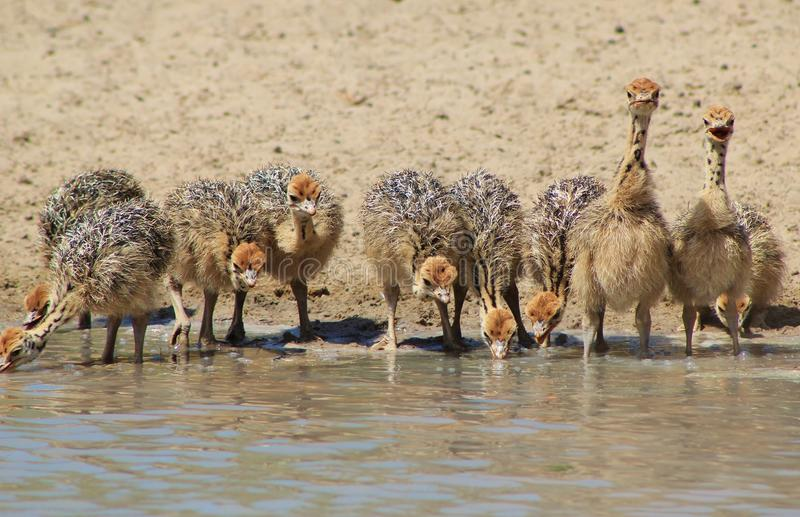 Chicks - Tomorrow's Future - Ostrich. A clutch of Ostrich chicks at a watering hole. Photo taken on a game ranch in Namibia, Africa stock photos