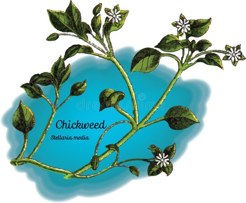 chickweed illustration stock