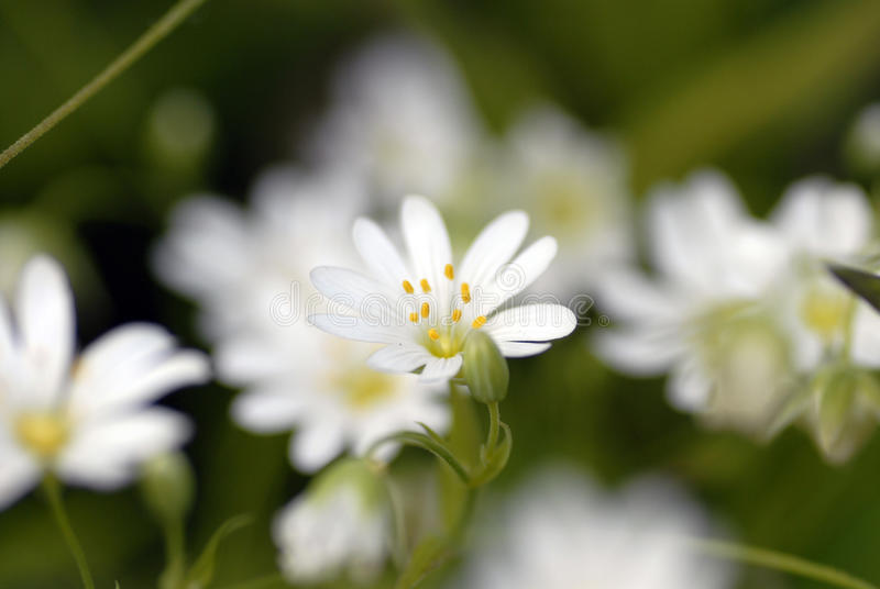 Chickweed Flower royalty free stock photo
