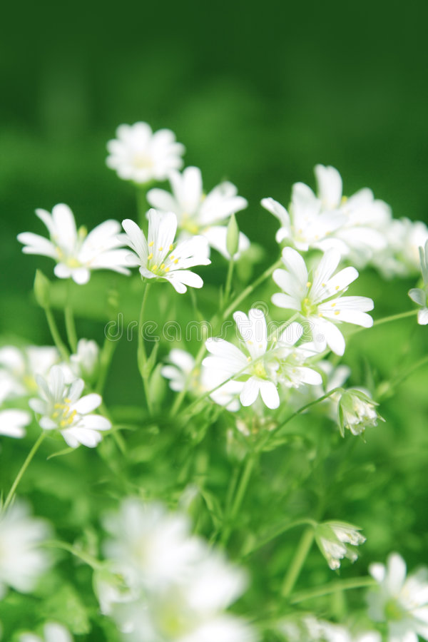 Chickweed flowers royalty free stock photos