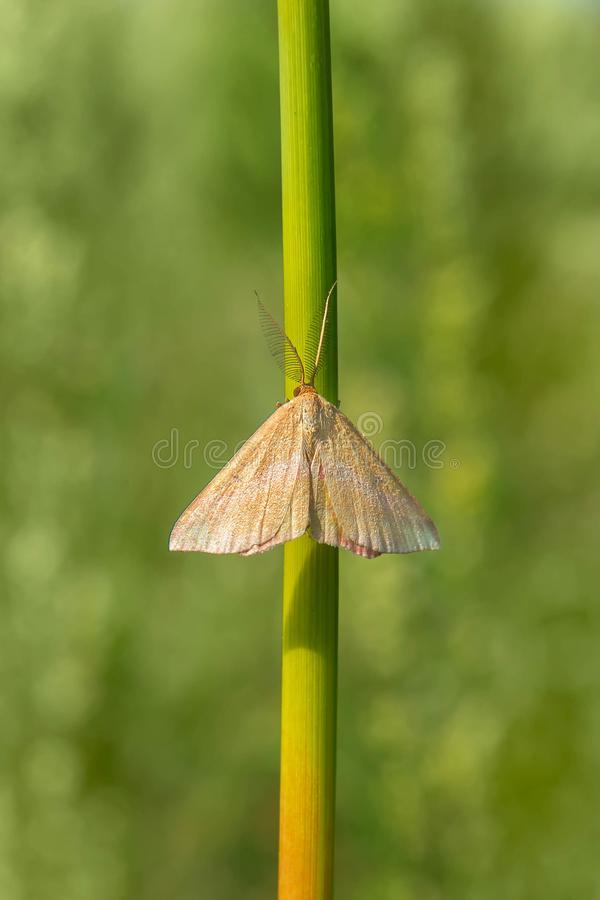 Chickweed Geometer Moth - Haematopis grataria. Faded male Chickweed Geometer Moth perched on a plant stem. Tommy Thompson Park, Toronto, Ontario, Canada royalty free stock photography