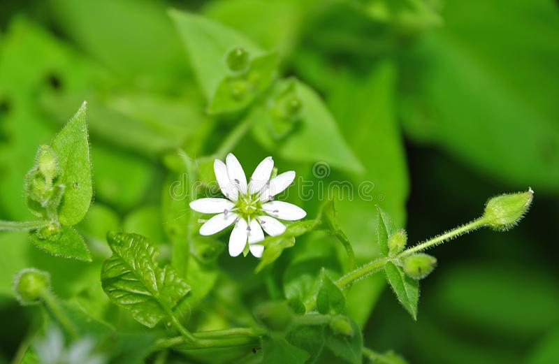 Chickweed plant with white flower. Stellaria meadia, the chickweed plant with white flower and hairy stem and leaves stock photography