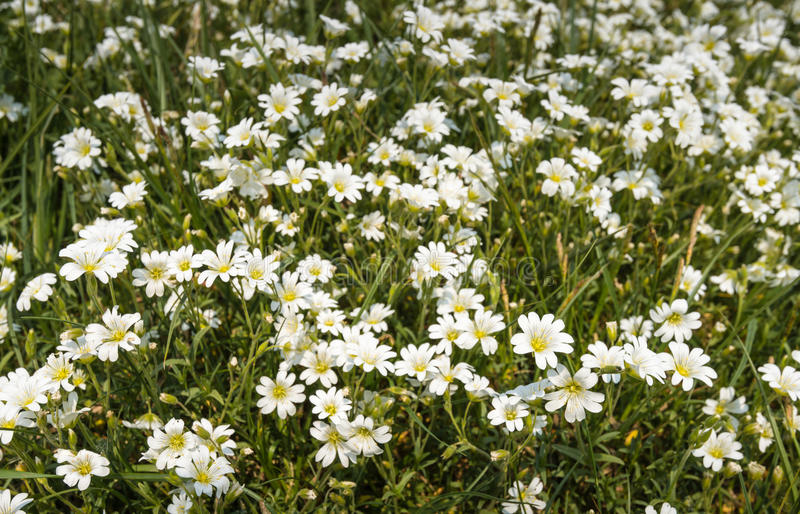 Chickweed white and yellow flowering in its natural habitat. White blooming Chickweed or Cerastium arvense in its natural habitat between grasses royalty free stock photography