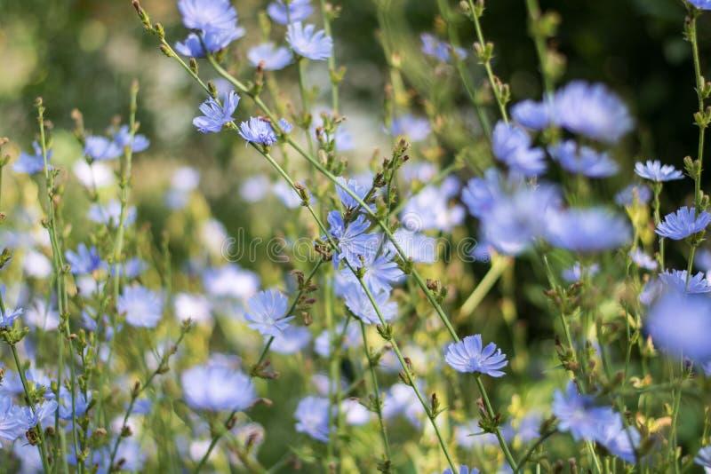 Chicorée de floraison photo libre de droits