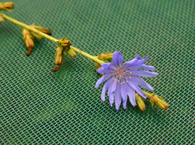 Download Chicory stock photo. Image of wildflower, blue, flora, purple - 205200