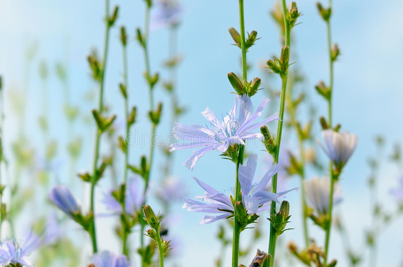 Download Chicory stock photo. Image of life, herb, plant, delightful - 23447790
