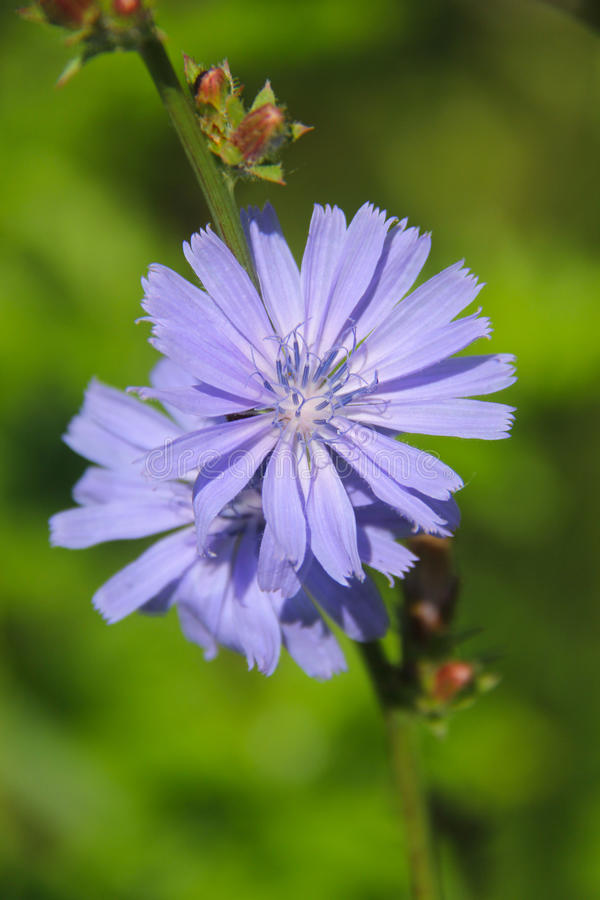 Free Chicory Stock Photo - 95208110