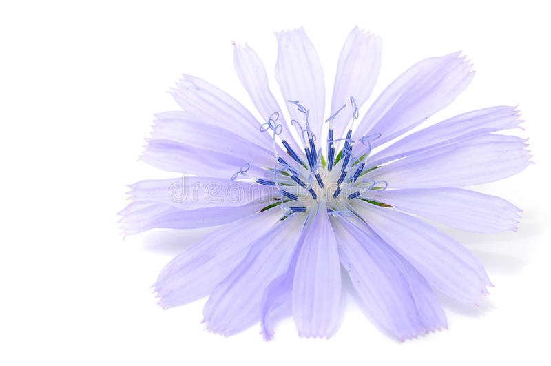 Download Chicory Flower Royalty Free Stock Images - Image: 17537889