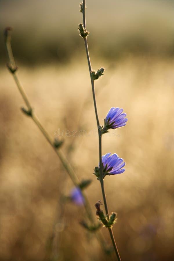 Free Chicory Flower In Tuscany, Italy. Stock Photos - 2042023