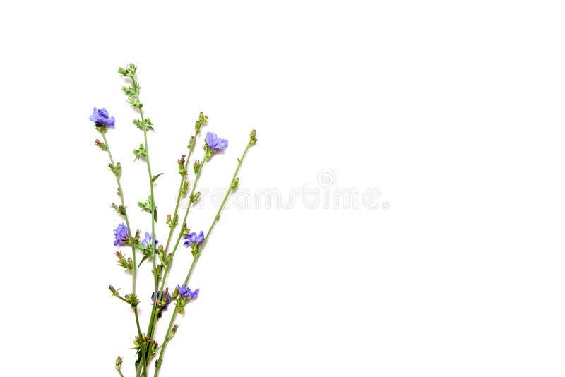 Chicory flower isolated on white background close up. Chicory flower isolated on white background royalty free stock image