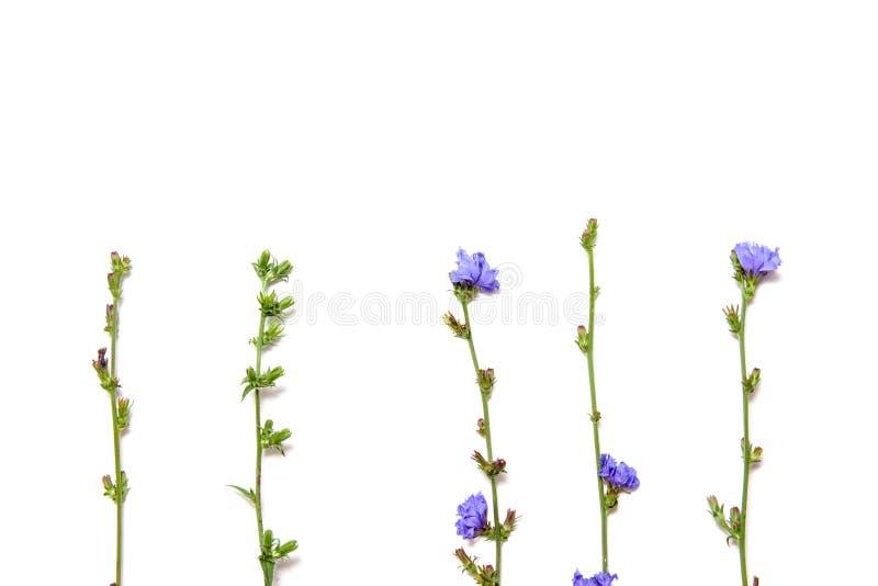 Chicory flower isolated on white background close up. Chicory flower isolated on white background stock photo