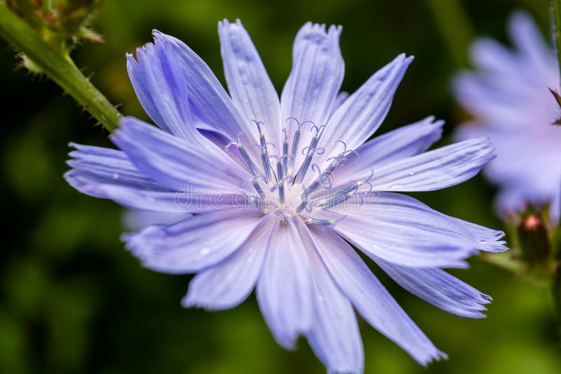 Chicory flower royalty free stock image