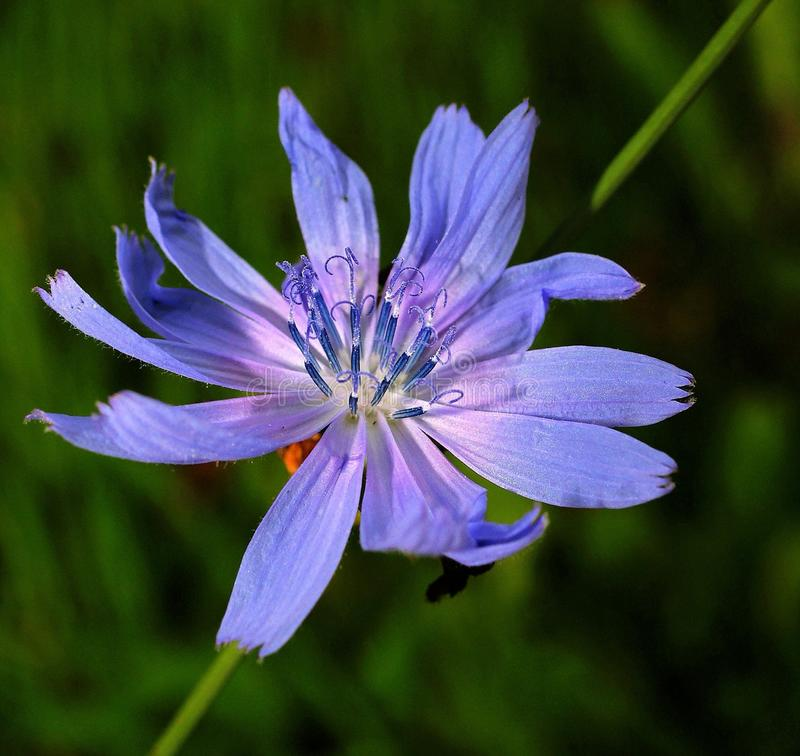 Chicory Flower stock image
