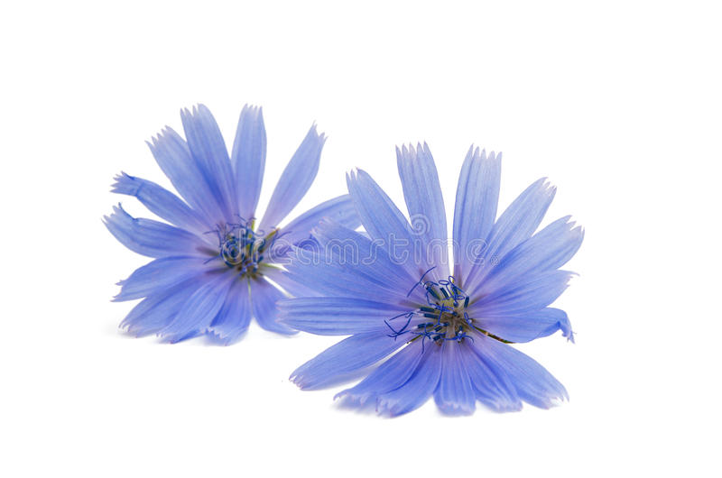 Chicory flower. On a white background royalty free stock photos