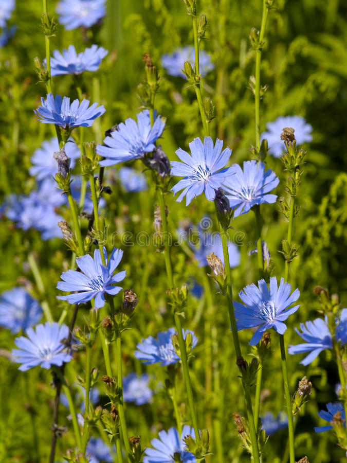 Chicory flowers royalty free stock images