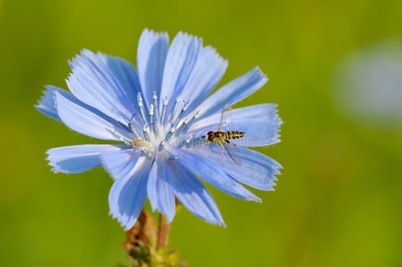 chicory hoverfly royaltyfria foton