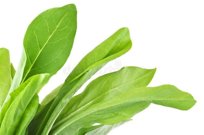 Chicory lettuce stock photos