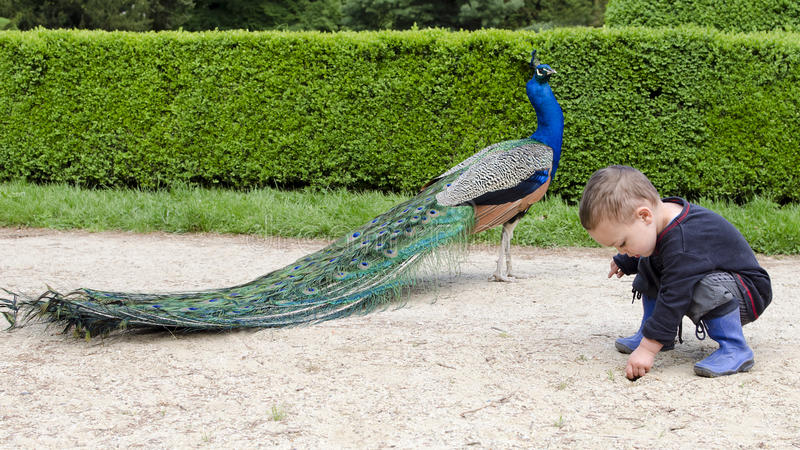 Chidl adn peacock in garden. Child playing on a gravel path in formal garden and peacock bird walking by royalty free stock image
