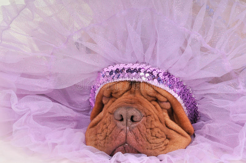 Download Chief Dog stock photo. Image of dogue, funny, dress, background - 17448188
