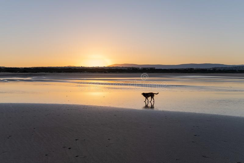 Chien à la côte de Sidi Kaouki, Maroc, Afrique Temps de coucher du soleil du Maroc ville du ressac merveilleusement photographie stock libre de droits