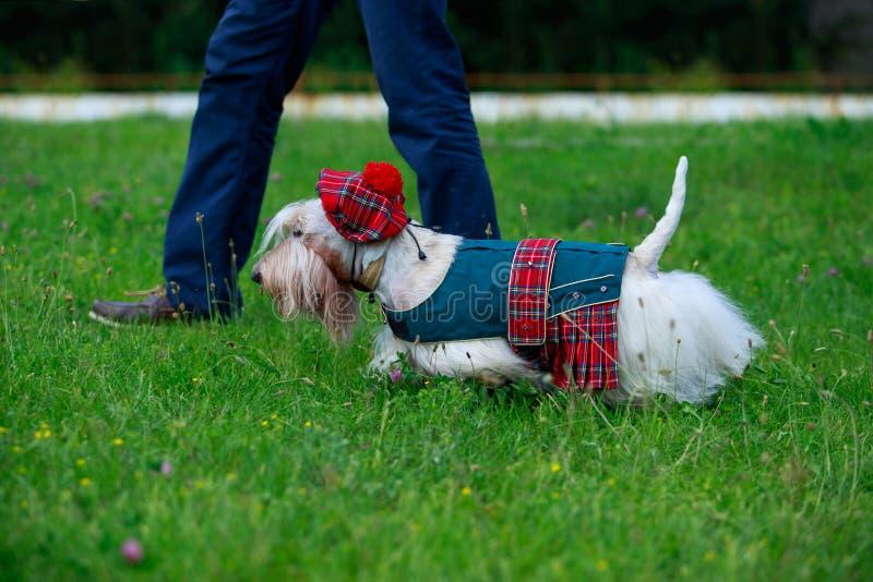 Chien écossais de race de Terrier image stock